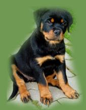 http://www.gero-dogs.sk/obr/banner/puppies.jpg